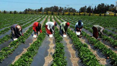 الزراعة في مصر
