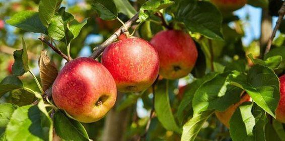محصول التفاح