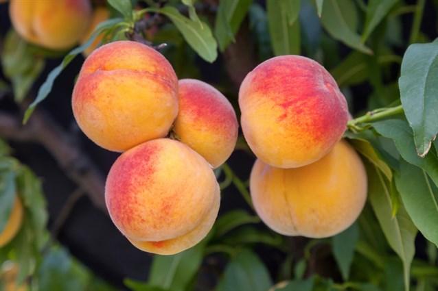 محصول الخوخ