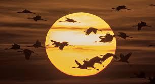 الطيور المهاجرة